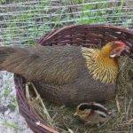 Курица Феникс в гнезде