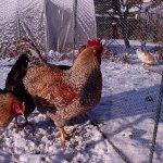 Царскосельские птицы зимой на выгуле
