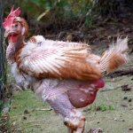 Курица больна алопецией