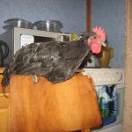 Австралорп отдыхает на кухне