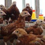 Цыплята Род-Айленд
