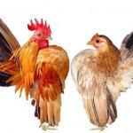 Петух и курица породы Малазийская Серама
