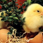 Цыпленок вылупился из яйца