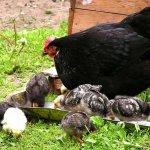 Московская чёрная курица с цыплятами
