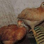 Цыплята-подростки Полтавской глинистой