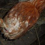 Пораженная вшами курица