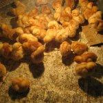 Цыплята породы Тетра