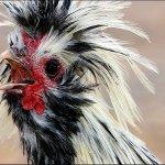 Курица, укушенная клещом
