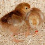 Цыплята породы Родонит