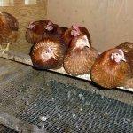 Решетчатый насест для курочек