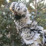 Серебристо-чёрный Падуан