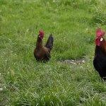 Куры гуляют на лужайке