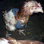 Пострадавшая курица в птичнике