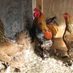 Петух и две курицы