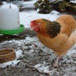 Курочка гуляет зимой