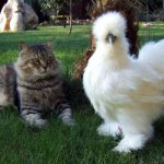 Пушистая курица и кот