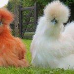 Пара красивых Китайских шелковых кур