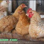 Четыре четырехмесячные Царскосельские курицы