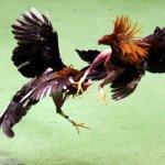 Петухи в процессе драки