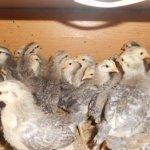 Цыплята Борковской породы