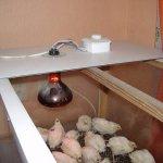Цыплята-бройлеры в брудере