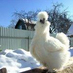 Белая курочка на зимнем выгуле