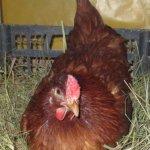 Глинистая курица на яйцах