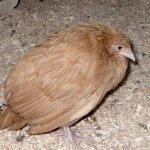 Заболевшая курица