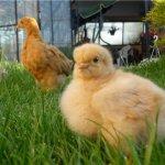 Цыпленок породы Орпингтон