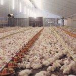 Мясные куры на птицефабрике