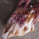 У курицы раны от нападением сородичей