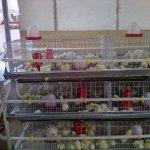 Батарейные клетки для птенцов