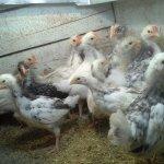 Цыплята в домашних условиях
