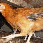 Курица Венгерский Великан