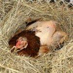 Почти лысая наседка в гнезде