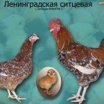 Фото курицы, петушка и цыпленка ситцевой породы