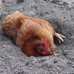 Курица купается в золе