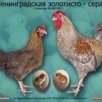 Золотисто-серые курочка, петух и цыплята