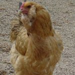 Пасхальная курица в профиль