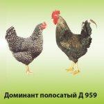 Курица и петух  Доминант Полосатый