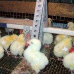 Цыплята у ниппельной поилки