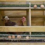 Курица-несушка в клетке
