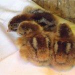 Новорождённые цыплята