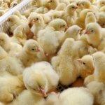 Цыплята мясного направления в ящиках