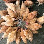 Цыплята собрались кругом корма