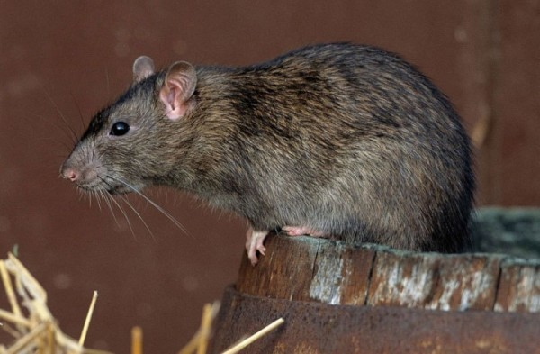 Серая крыса сидит на бочке
