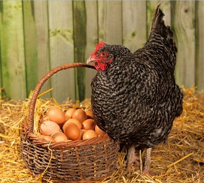 Курица возле корзины яиц