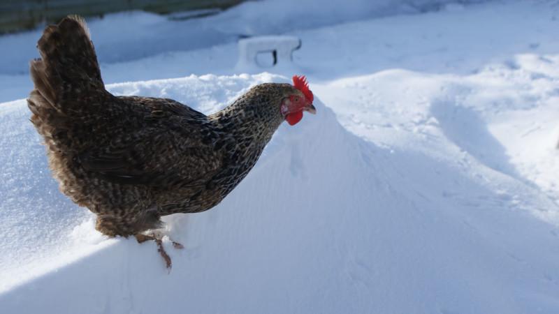 Курица зимой на снегу