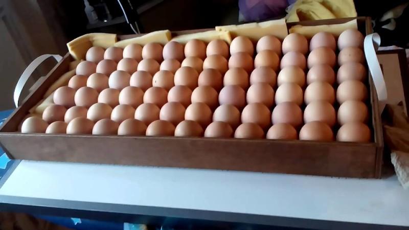 Закладка яиц в Блиц-72