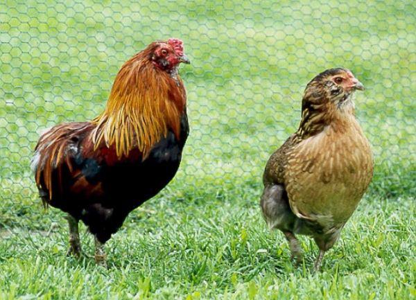 Петух и курица Араукана на прогулке